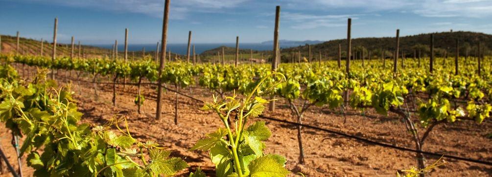 Espelt wijngaarden